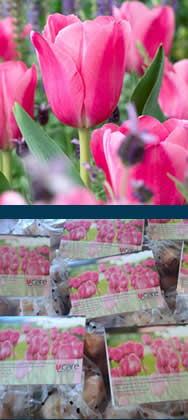 UCARE tulip bulbs